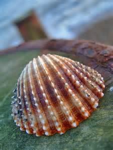Purple Scallop Sea Shells