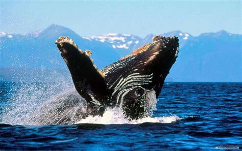 Aquatic Animals Wallpapers - aquatic free animal wallpaper marine 1