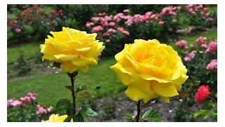Most Beautiful Yellow Roses   Wallpapers13 com  Beautiful Pictures Of Yellow Roses