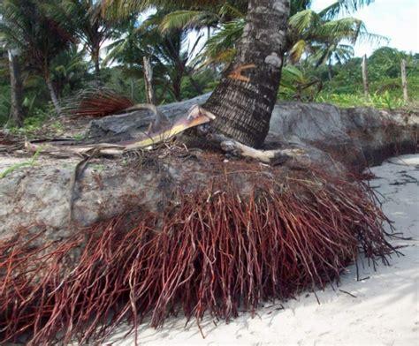 manfaat pohon kelapa bagi manusia bibitbunga com