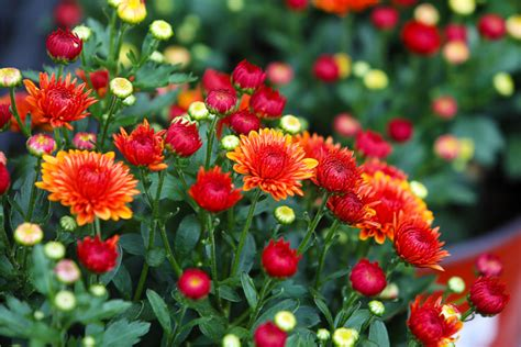 How To Keep Your Mums Blooming Longer Than Ever This Fall!