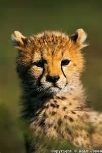 Cheetah Cub Kenya