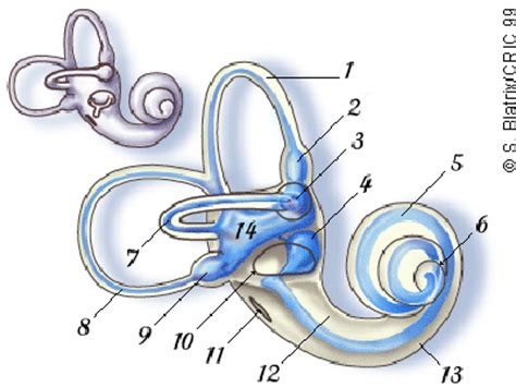 Blank Diagram Of The Cochlea by The Cochlea