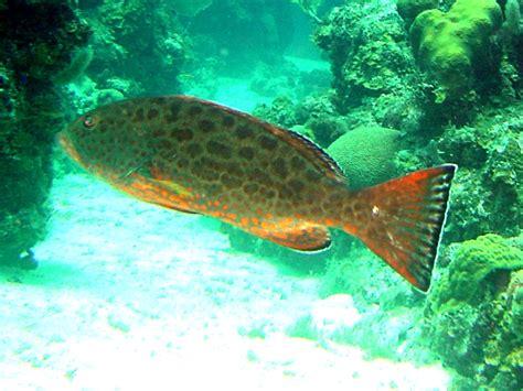 yellowfin grouper wikipedia