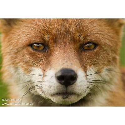 Red fox Vulpes vulpes – UK Wildlife