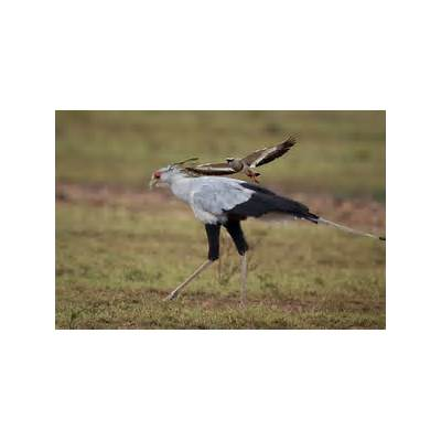 Feather Tailed Stories: Secretary Bird (Africa Series)