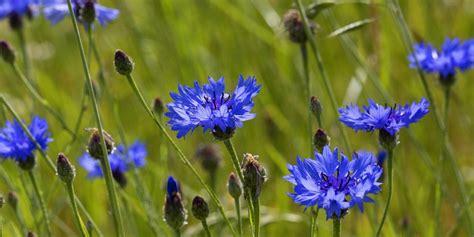 blaue blumen frühling rechte vereinnahmung der kornblume lasst uns blaue blumen pflanzen taz de