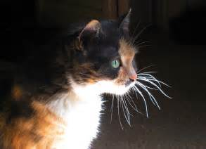 cat whiskers cat whiskers photograph by sue halstenberg