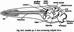 Ascidia  External Features And Metamorphosis