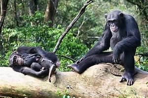 Ebola Fears Endanger Sierra Leone Chimpanzee Sanctuary ...