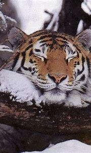 Black Tiger Animal | Wallpapers White Tiger Animal Nature ...