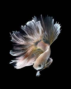 New Stunning Portraits of Siamese Fighting Fish by ...