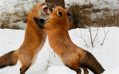 Foxes Eat Cats Dogs