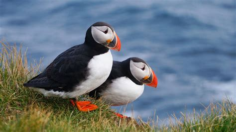 10 Facts About Puffins Mental Floss