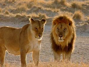 Hidden African lion population discovered in remote part ...
