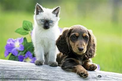 Puppy Kitten Adopt Siamese Adoption Pet Dachshund