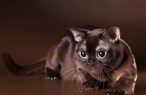 burmese cat wallpapers