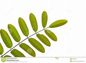 Green Pinnately Compound Leaf Stock Images - Image: 26097004