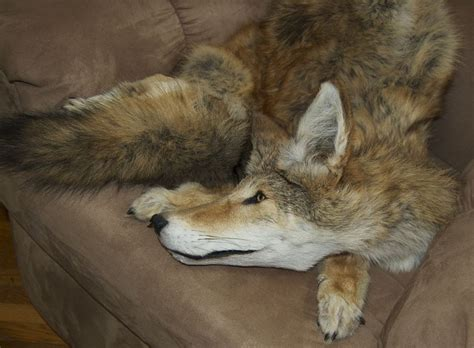 are coyotes color blind fox coyote for sale by cry on deviantart