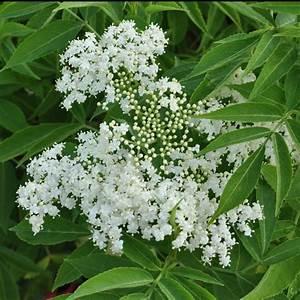 Plantes à Feuillage Persistant : sureau persistant plantes et jardins ~ Premium-room.com Idées de Décoration