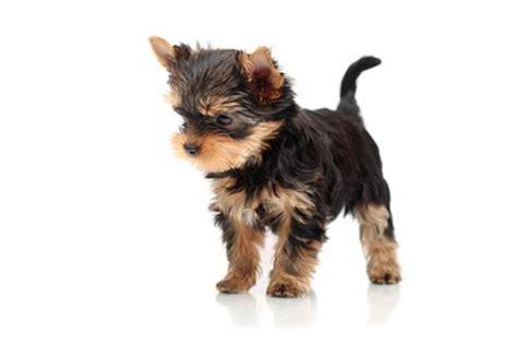 yorkshire terrier charakter temperament welpende