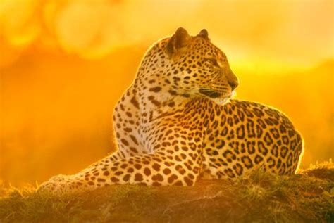 Facts About Leopard for Kids