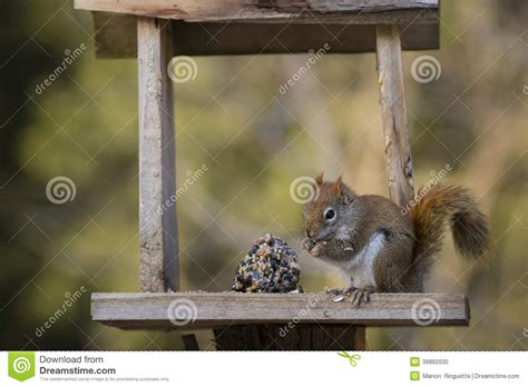 red squirrel at feeder stock photo image 39882030