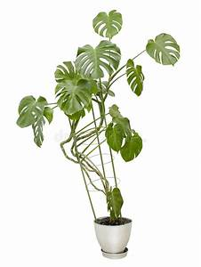 Grand Pot Plante : grande plante d 39 int rieur arbre grand dans un pot photo ~ Premium-room.com Idées de Décoration