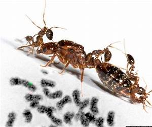 'Social Chromosome' That Controls Fire Ant Behavior Is ...