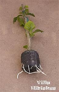 Gartenhibiskus Vermehren Stecklinge : hibiskus vermehrung rosa sinensis zimmerhibiskus ~ Lizthompson.info Haus und Dekorationen