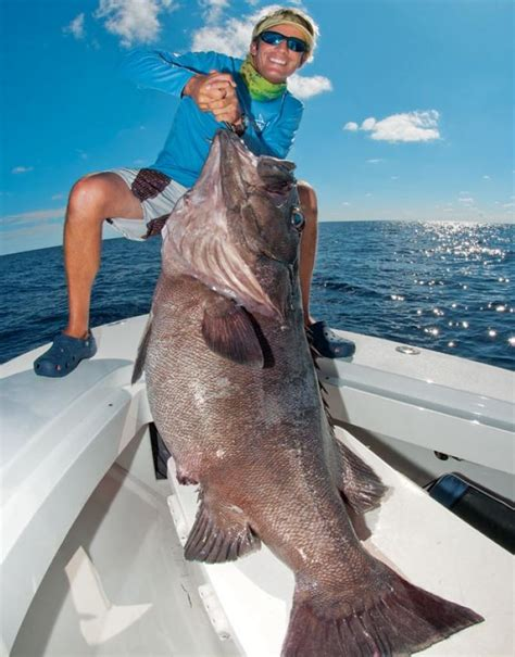 wreckfish americanus grouper fish goliath biggest bass sea giant caught ocean record pound saltwater fishes largest monster massive kg