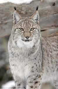 Siberian Lynx Pet