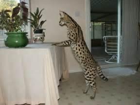 f1 cat cats amara cats f1 savannahs f1