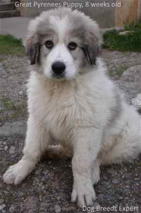 Great Pyrenees Shedding Help by Great Pyrenees Breed Information