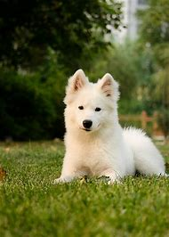 Samoyed Fluffy Puppy