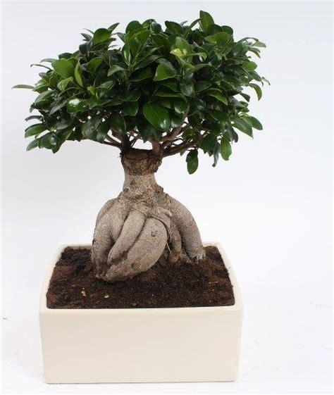 bonsai ficus ginseng 4kant in ceramic pot 31 cm florastore