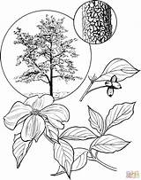 Dogwood Tree Flowering Coloring Pages Flower Drawing Cardinal Trees Branch Printable Blossom Drawings Leaves State Bird Carolina Template North Birds sketch template
