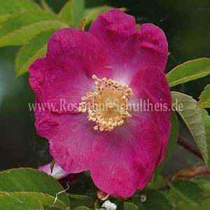Rosen Düngen Im Frühjahr : rosa forrestiana rosen online kaufen im rosenhof schultheis rosen online kaufen im rosenhof ~ Orissabook.com Haus und Dekorationen