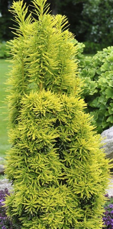 Taxus baccata 'David' - Parastā īve