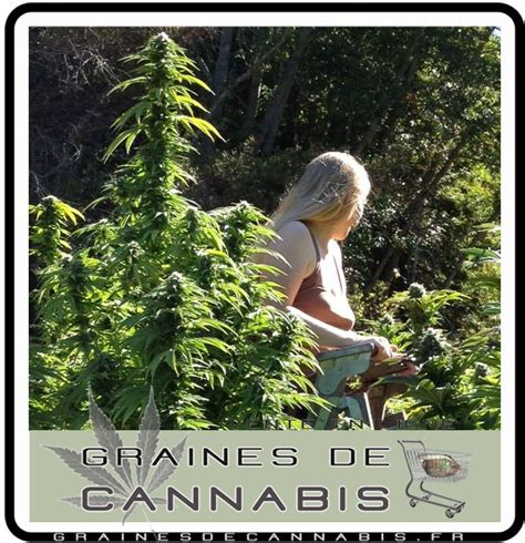 le s 233 chage du cannabis
