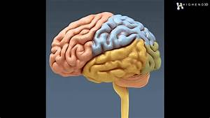 Human Brain And Nervous System