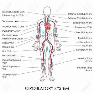 Circulatory System With Labels
