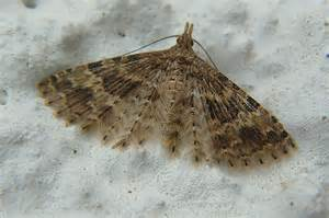 Common House Moth Identification