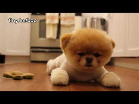 boo  worlds cutest dog greatest hits