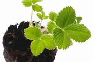 Erdbeeren Richtig Pflanzen : erdbeeren und tomaten zusammen pflanzen eine gute idee ~ Lizthompson.info Haus und Dekorationen
