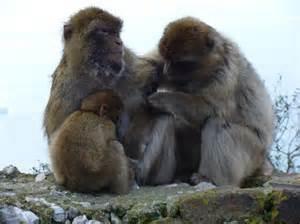 Gibraltar monkeys - Picture of Gibraltar, Europe - TripAdvisor Gibraltar