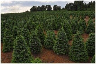 christmas tree farm redland oregon tree grower in oregon branches out with nrcs