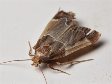 small moths in home pictures to pin on pinterest pinsdaddy