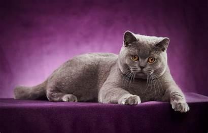 British Shorthair Cat Desktop Cats Photoshoot Gray