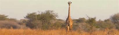 Giraffe Wildlife Lion Giraffes African Africa Conservation